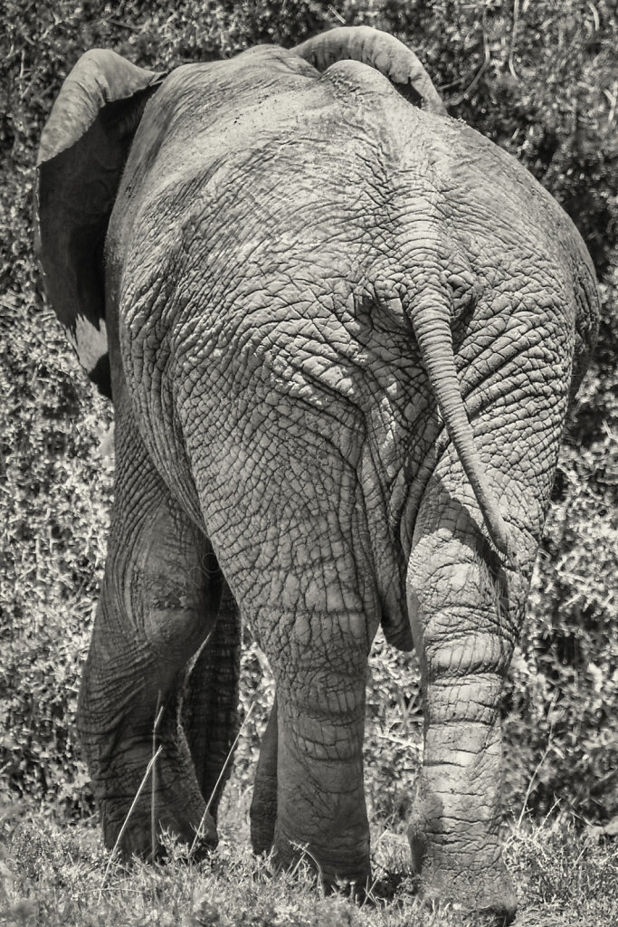 Elephant, Addo N.P., South Africa